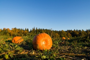 A shot of pumpkins on the ground at the farm
